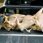 Three deer in the back of a truck after a hunt