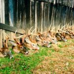 A row of deer heads at Long Creek Outfitters